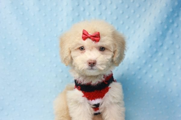 Pups - Toy Maltipoo Puppy found his loving home with Jean in Bakersville, CA-12509