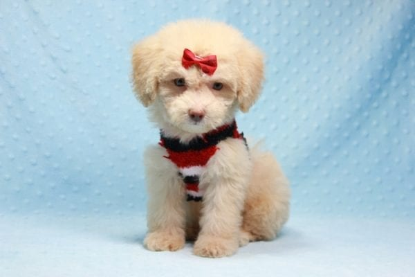 Pups - Toy Maltipoo Puppy found his loving home with Jean in Bakersville, CA-12504