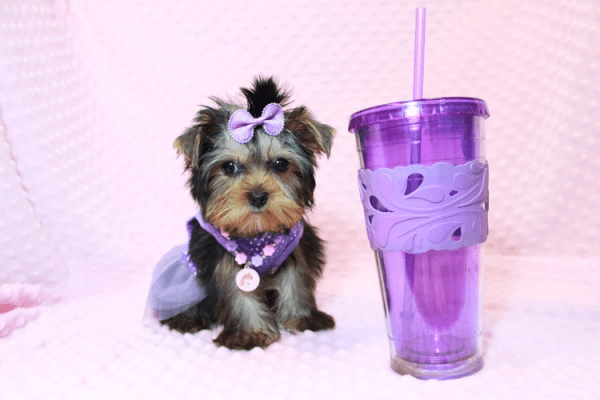 Sofia Richie - Teacup Yorkie Puppy Has Found A Loving Home With Shari in Utah!-12585