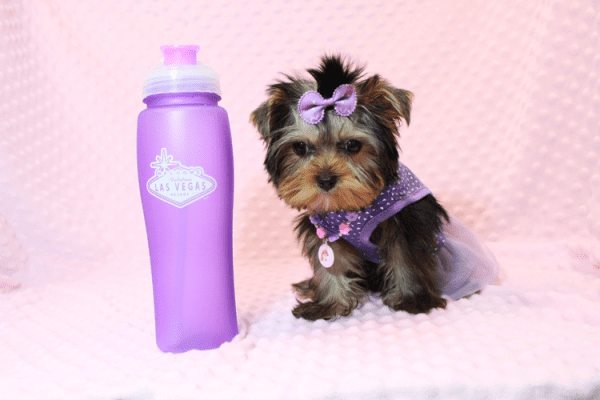 Sofia Richie - Teacup Yorkie Puppy Has Found A Loving Home With Shari in Utah!-12587