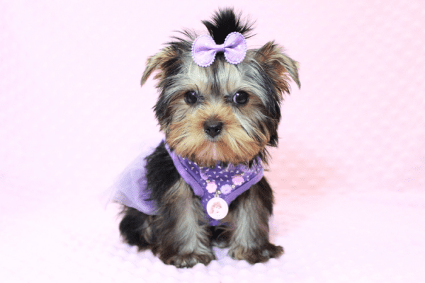 Sofia Richie - Teacup Yorkie Puppy Has Found A Loving Home With Shari in Utah!-12584