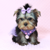 Sofia Richie - Teacup Yorkie Puppy Has Found A Loving Home With Shari in Utah!-12590