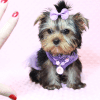 Sofia Richie - Teacup Yorkie Puppy Has Found A Loving Home With Shari in Utah!-12591