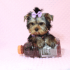 Sofia Richie - Teacup Yorkie Puppy Has Found A Loving Home With Shari in Utah!-12586