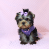 Sofia Richie - Teacup Yorkie Puppy Has Found A Loving Home With Shari in Utah!-12588