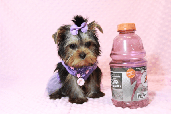 Sofia Richie - Teacup Yorkie Puppy Has Found A Loving Home With Shari in Utah!-0