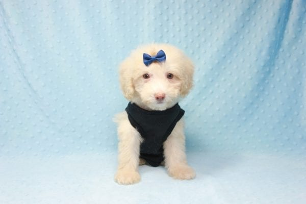 Spider King - Toy Maltipoo Puppy found his loving home with Marina in LA, CA-12514