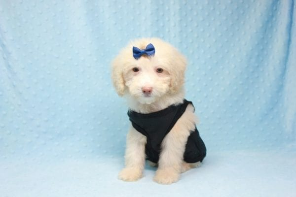 Spider King - Toy Maltipoo Puppy found his loving home with Marina in LA, CA-12518