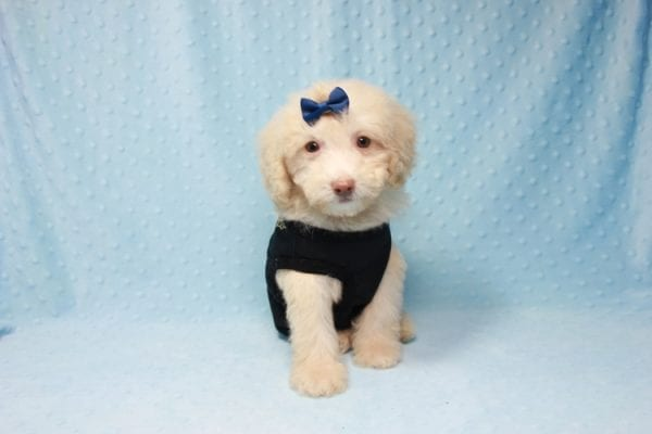 Spider King - Toy Maltipoo Puppy found his loving home with Marina in LA, CA-12511