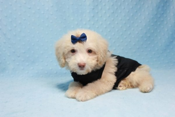 Spider King - Toy Maltipoo Puppy found his loving home with Marina in LA, CA-12513