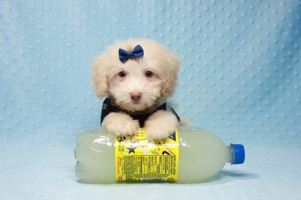 Spider King - Toy Maltipoo Puppy found his loving home with Marina in LA, CA-0