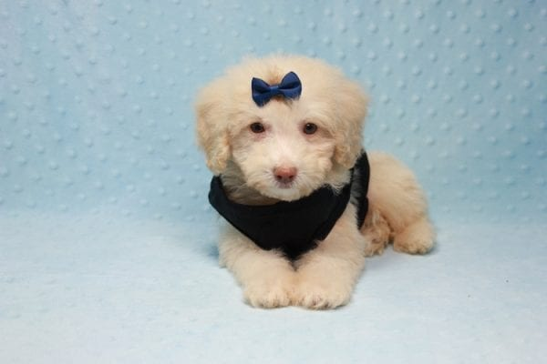 Spider King - Toy Maltipoo Puppy found his loving home with Marina in LA, CA-12516