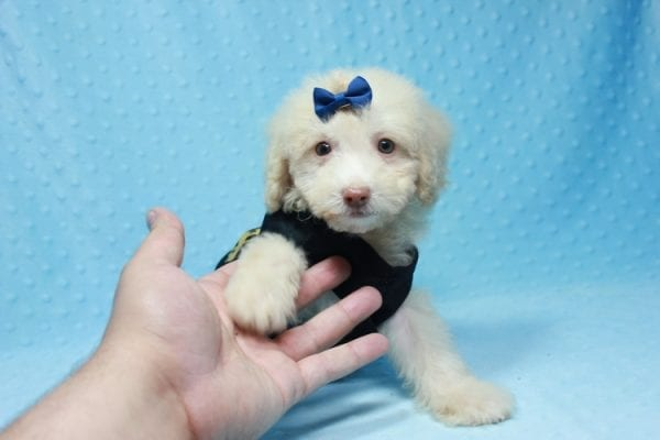 Spider King - Toy Maltipoo Puppy found his loving home with Marina in LA, CA-12512