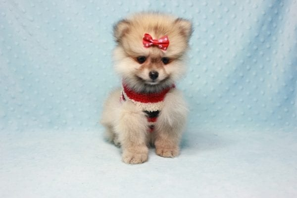 Teddy Bear - Teacup Pomeranian Puppy In L.A Found A New loving Home With Emilia From Oxnard CA 93030 -12523