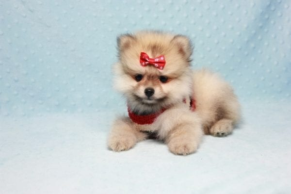 Teddy Bear - Teacup Pomeranian Puppy In L.A Found A New loving Home With Emilia From Oxnard CA 93030 -12520