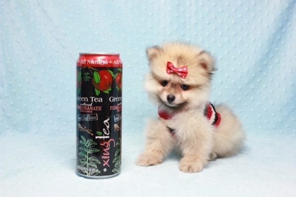 Teddy Bear - Teacup Pomeranian Puppy In L.A Found A New loving Home With Emilia From Oxnard CA 93030 -12528