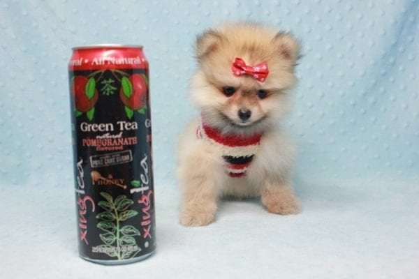 Teddy Bear - Teacup Pomeranian Puppy In L.A Found A New loving Home With Emilia From Oxnard CA 93030 -0