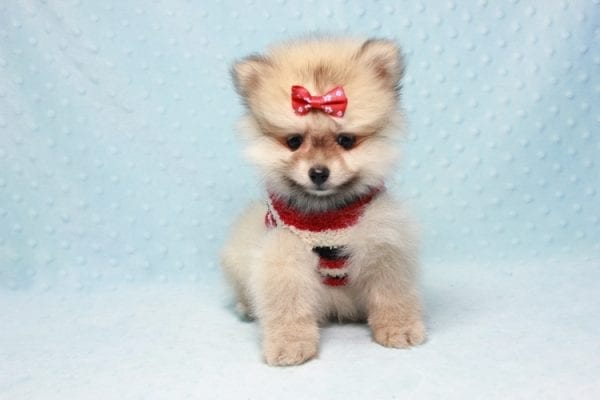 Teddy Bear - Teacup Pomeranian Puppy In L.A Found A New loving Home With Emilia From Oxnard CA 93030 -12519