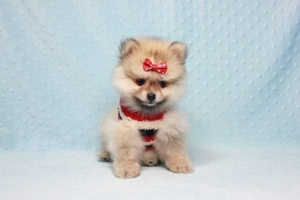 Teddy Bear - Teacup Pomeranian Puppy In L.A Found A New loving Home With Emilia From Oxnard CA 93030 -12527