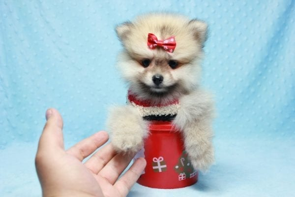 Teddy Bear - Teacup Pomeranian Puppy In L.A Found A New loving Home With Emilia From Oxnard CA 93030 -12521