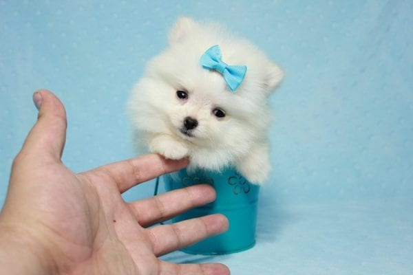 The Game - Micro Teacup Pomeranian Puppy Found A New Loving Home -12877