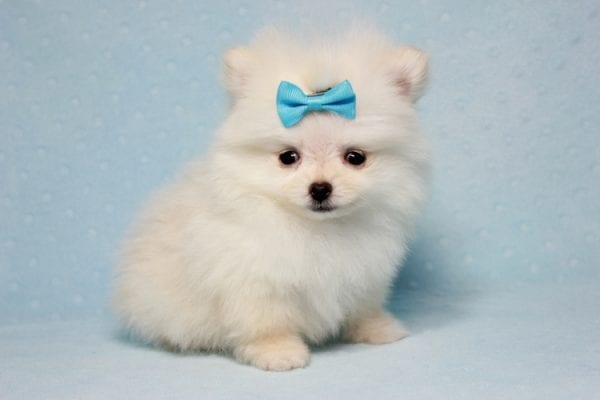 The Game - Micro Teacup Pomeranian Puppy Found A New Loving Home -12874