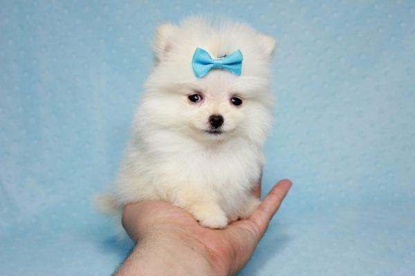 The Game - Micro Teacup Pomeranian Puppy Found A New Loving Home -12878