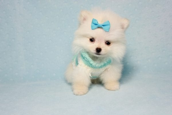 The Game - Micro Teacup Pomeranian Puppy Found A New Loving Home -12875