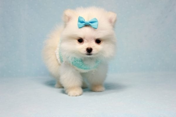 The Game - Micro Teacup Pomeranian Puppy Found A New Loving Home -12871
