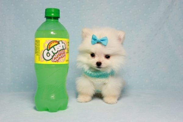 The Game - Micro Teacup Pomeranian Puppy Found A New Loving Home -12873