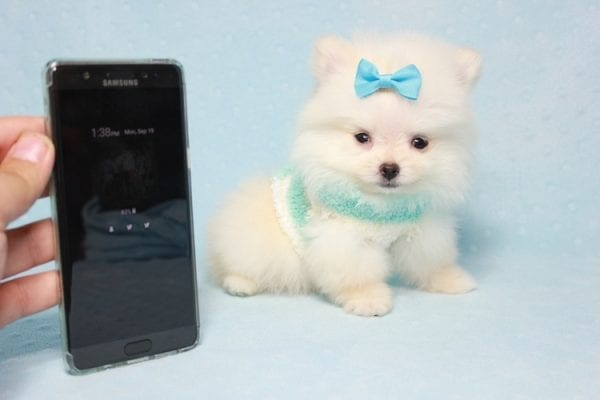 The Game - Micro Teacup Pomeranian Puppy Found A New Loving Home -0