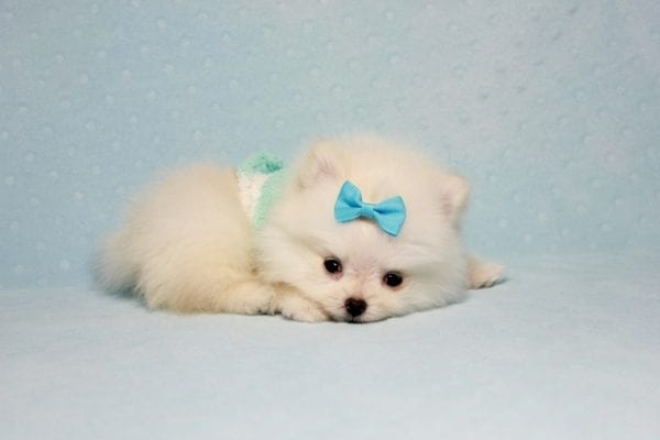 The Game - Micro Teacup Pomeranian Puppy Found A New Loving Home -12876