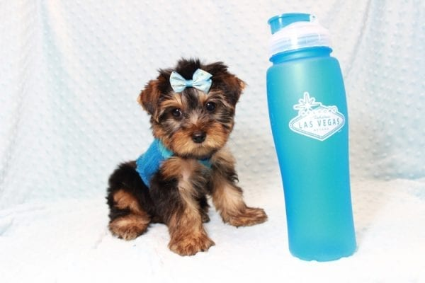 Tim Tebow - Toy Yorkie Puppy has found a good loving home with ANDREA FROM LAS VEGAS, NV 89178-0