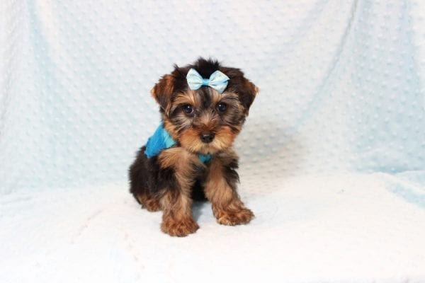 Tim Tebow - Toy Yorkie Puppy has found a good loving home with ANDREA FROM LAS VEGAS, NV 89178-12816