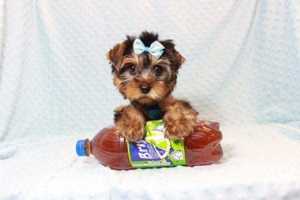 Tim Tebow - Toy Yorkie Puppy has found a good loving home with ANDREA FROM LAS VEGAS, NV 89178-12815