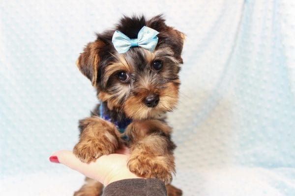 Tim Tebow - Toy Yorkie Puppy has found a good loving home with ANDREA FROM LAS VEGAS, NV 89178-12812