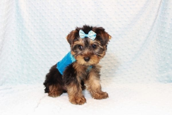 Tim Tebow - Toy Yorkie Puppy has found a good loving home with ANDREA FROM LAS VEGAS, NV 89178-12814