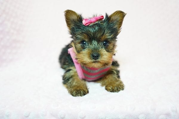 Cookies -N- Cream - F Yorkie Found Her New Loving Home with Marco From Bakersfield CA 93313-21773