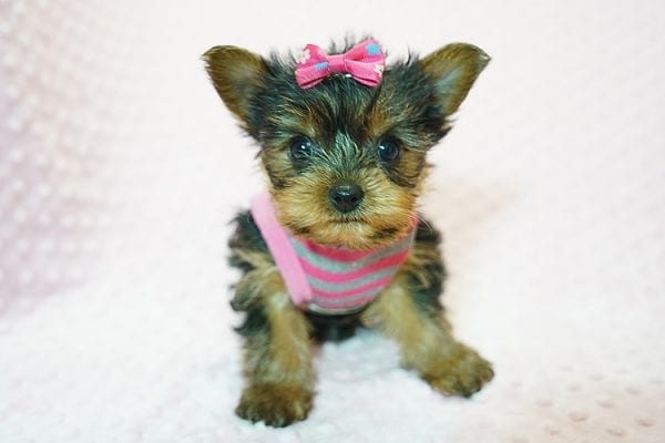 Cookies -N- Cream - F Yorkie Found Her New Loving Home with Marco From Bakersfield CA 93313-21772