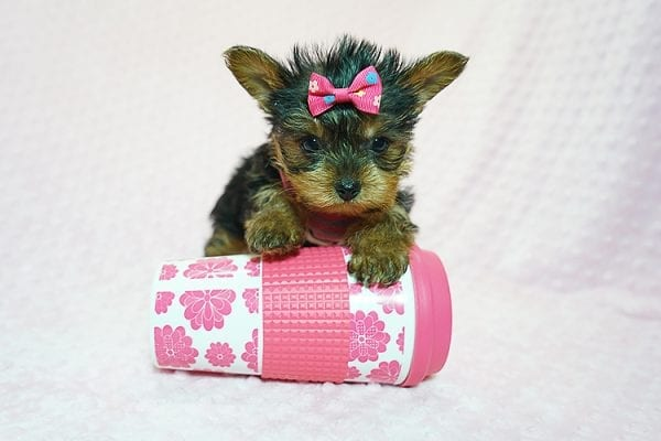 Cookies -N- Cream - F Yorkie Found Her New Loving Home with Marco From Bakersfield CA 93313-21775