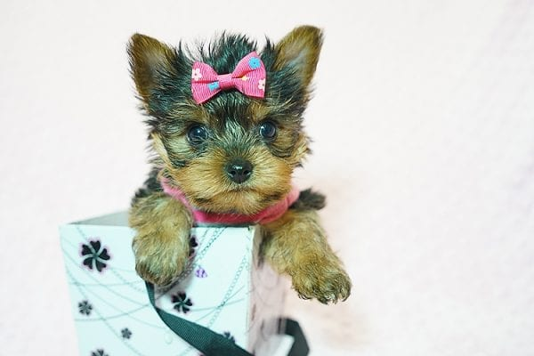 Cookies -N- Cream - F Yorkie Found Her New Loving Home with Marco From Bakersfield CA 93313-0
