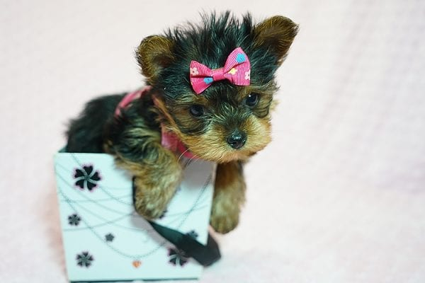Cookies -N- Cream - F Yorkie Found Her New Loving Home with Marco From Bakersfield CA 93313-21778