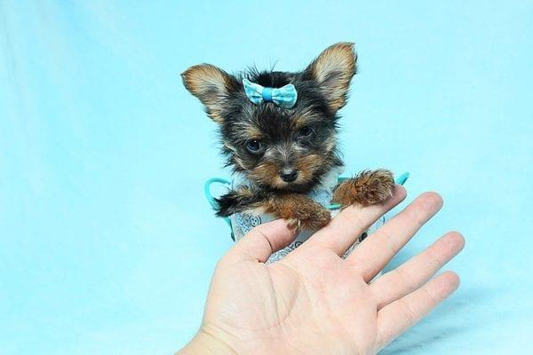 Handsome Jack - Tiny Teacup Yorkie Puppy in Los Angeles Las Vegas