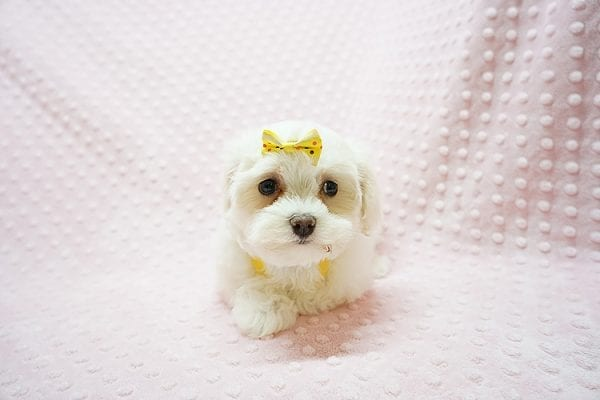 Mikimoto - Toy Maltese Puppy Found Her Good Loving Home With Elroy R. In Los Angeles CA, 90044-21692