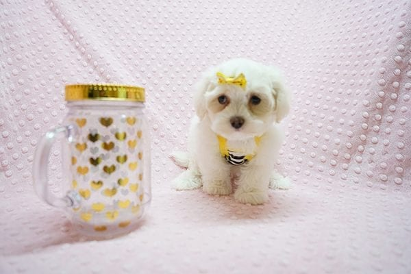 Mikimoto - Toy Maltese Puppy Found Her Good Loving Home With Elroy R. In Los Angeles CA, 90044-21694