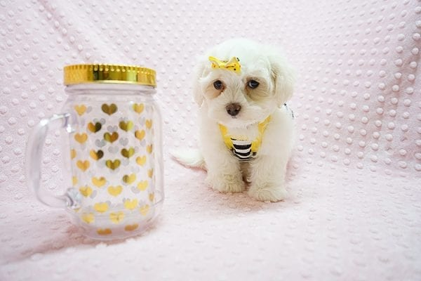 Mikimoto - Toy Maltese Puppy Found Her Good Loving Home With Elroy R. In Los Angeles CA, 90044-21696