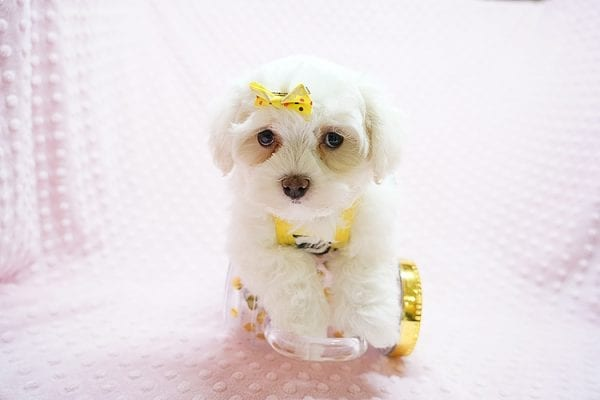 Mikimoto - Toy Maltese Puppy Found Her Good Loving Home With Elroy R. In Los Angeles CA, 90044-21700