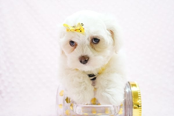 Mikimoto - Toy Maltese Puppy Found Her Good Loving Home With Elroy R. In Los Angeles CA, 90044-21701