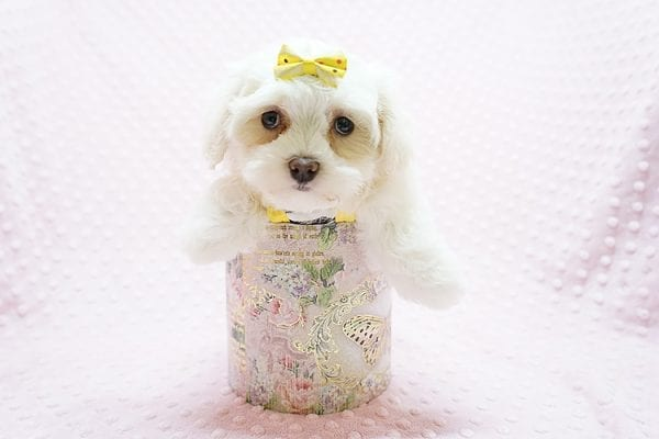 Mikimoto - Toy Maltese Puppy Found Her Good Loving Home With Elroy R. In Los Angeles CA, 90044-21705