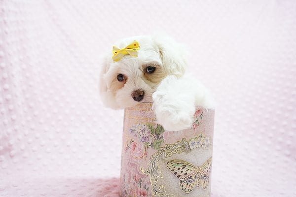 Mikimoto - Toy Maltese Puppy Found Her Good Loving Home With Elroy R. In Los Angeles CA, 90044-21704